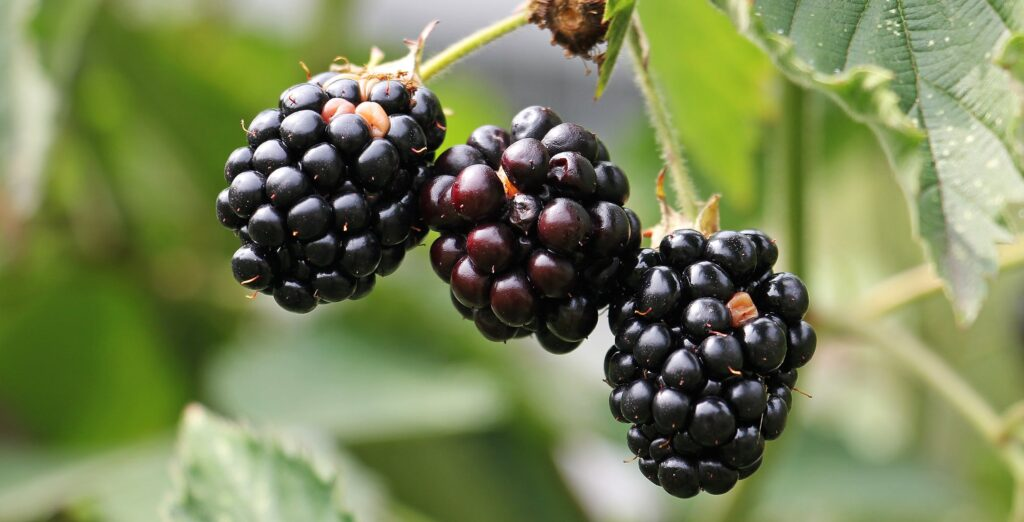 blackberries on a bush